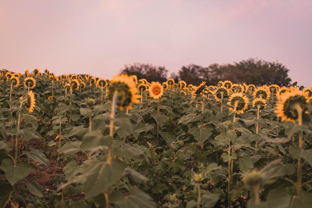 sun flower field during daytime