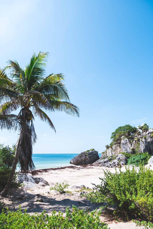 coconut tree near sea