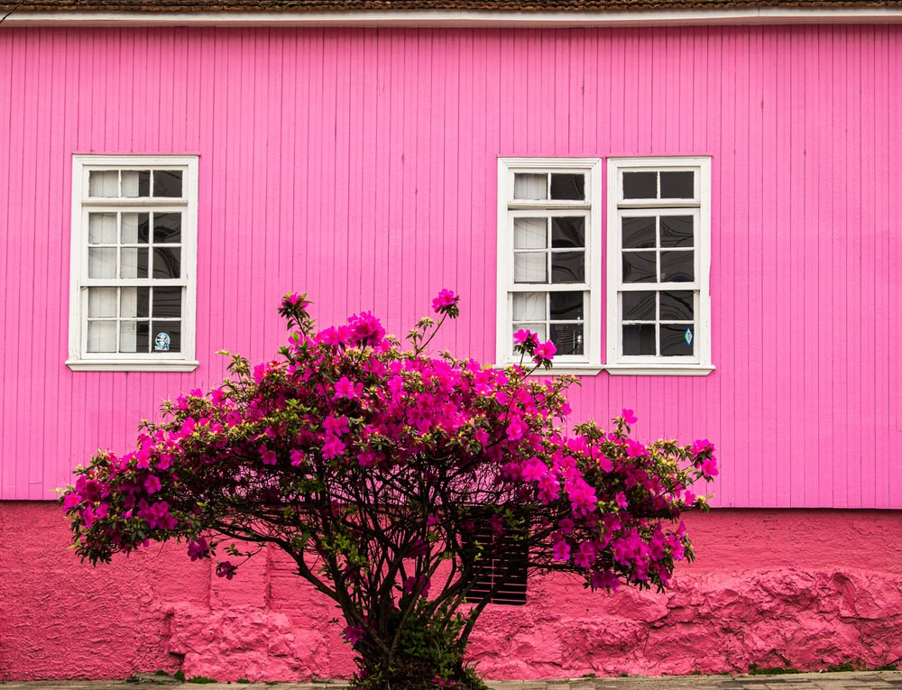 blooming pink bougainvillea flowers near pink wooden house