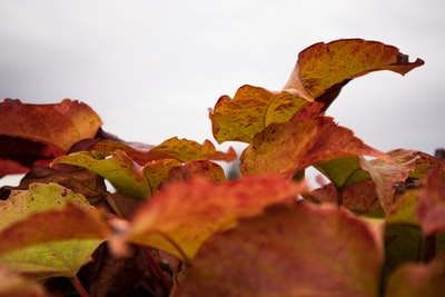 close-up of red leafed plant