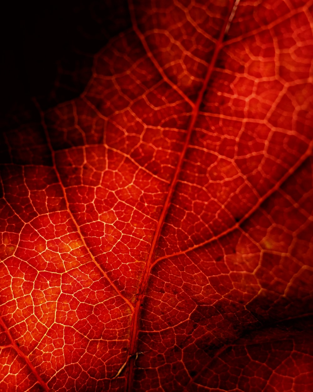 macro photography of red leaf