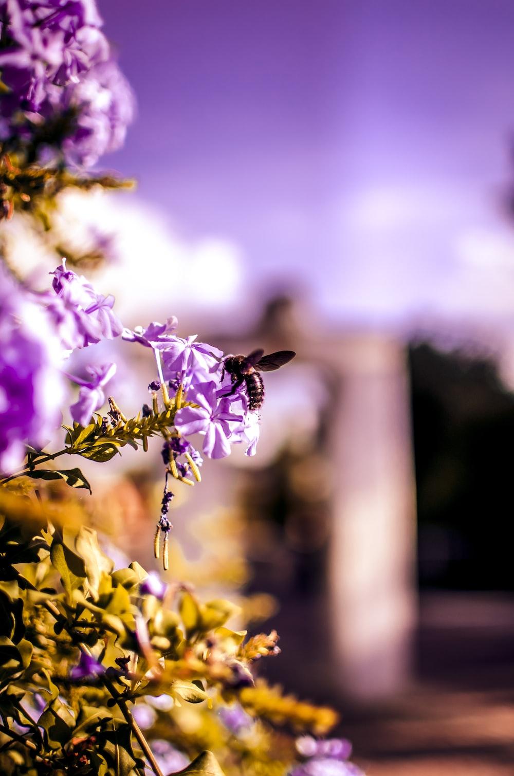 bee sticking on purple petaled flowers
