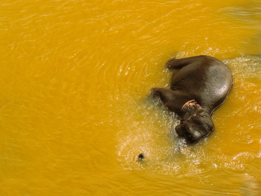 gray 4-legged animal lying on body of water