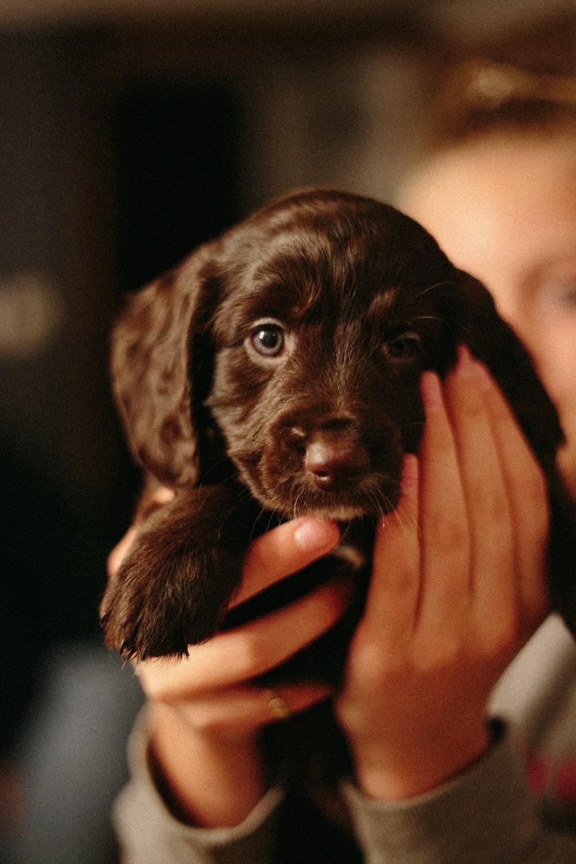 close-up photography of chocolate Labrador retriever