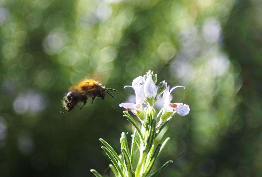 Bee feeding on a rosemary flower