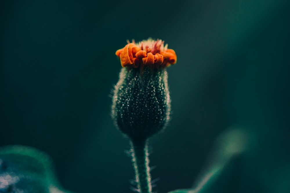 orange flower about to bloom