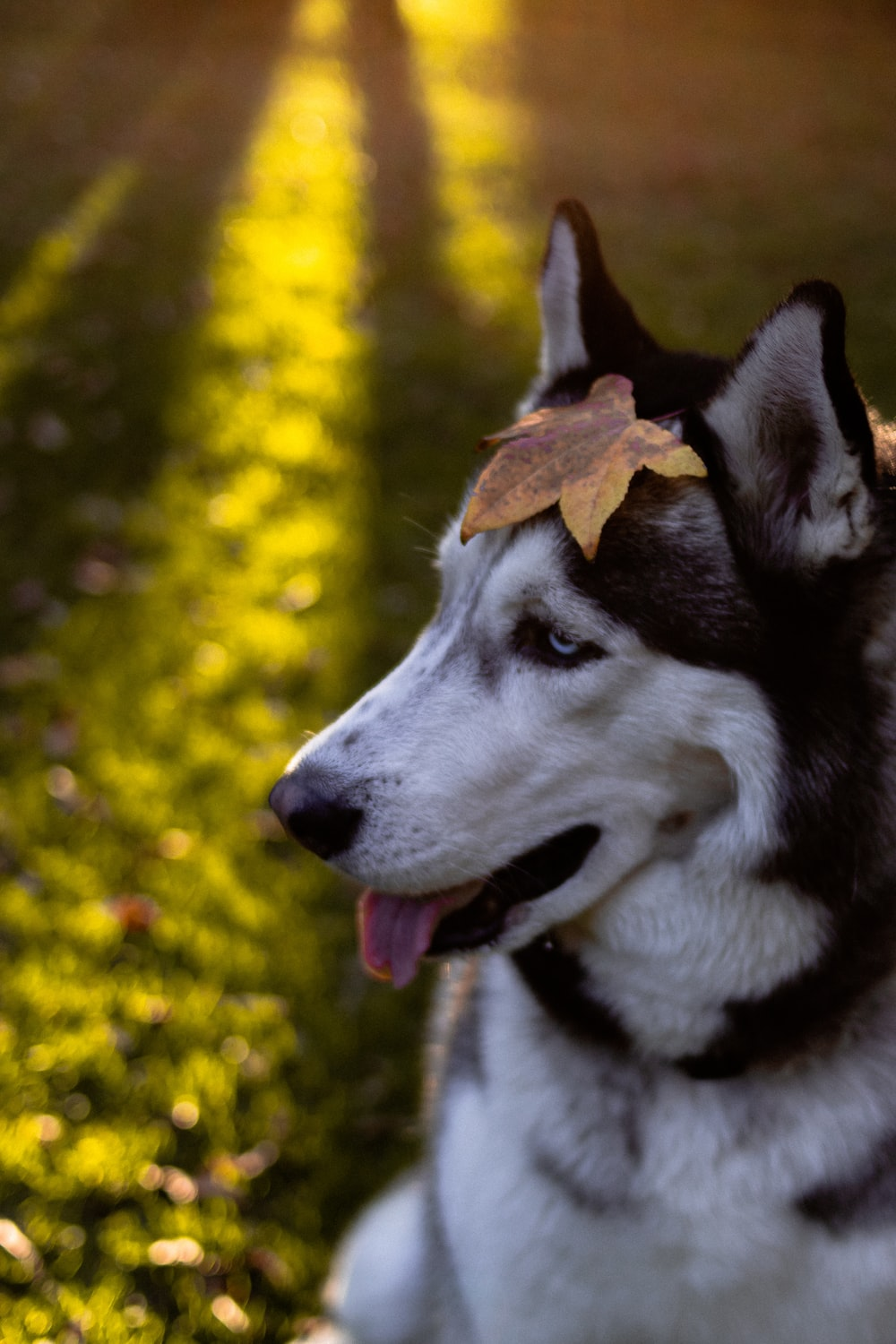 750 Husky 4k Pictures Hd Download Free Images On Unsplash