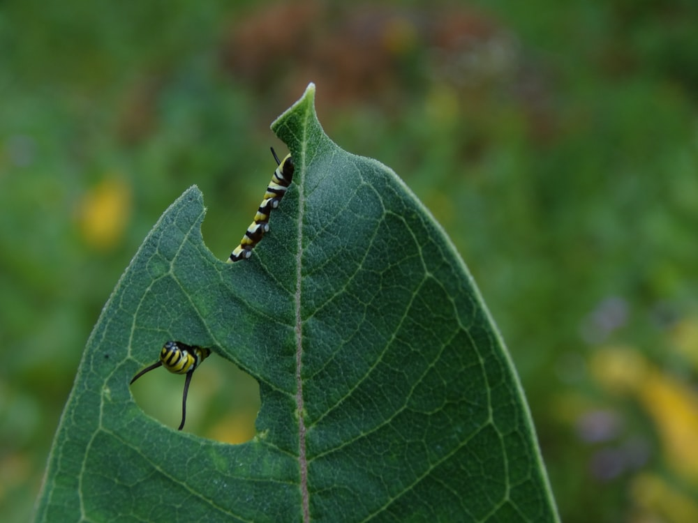 green caterpillar on green leaf in macro photography