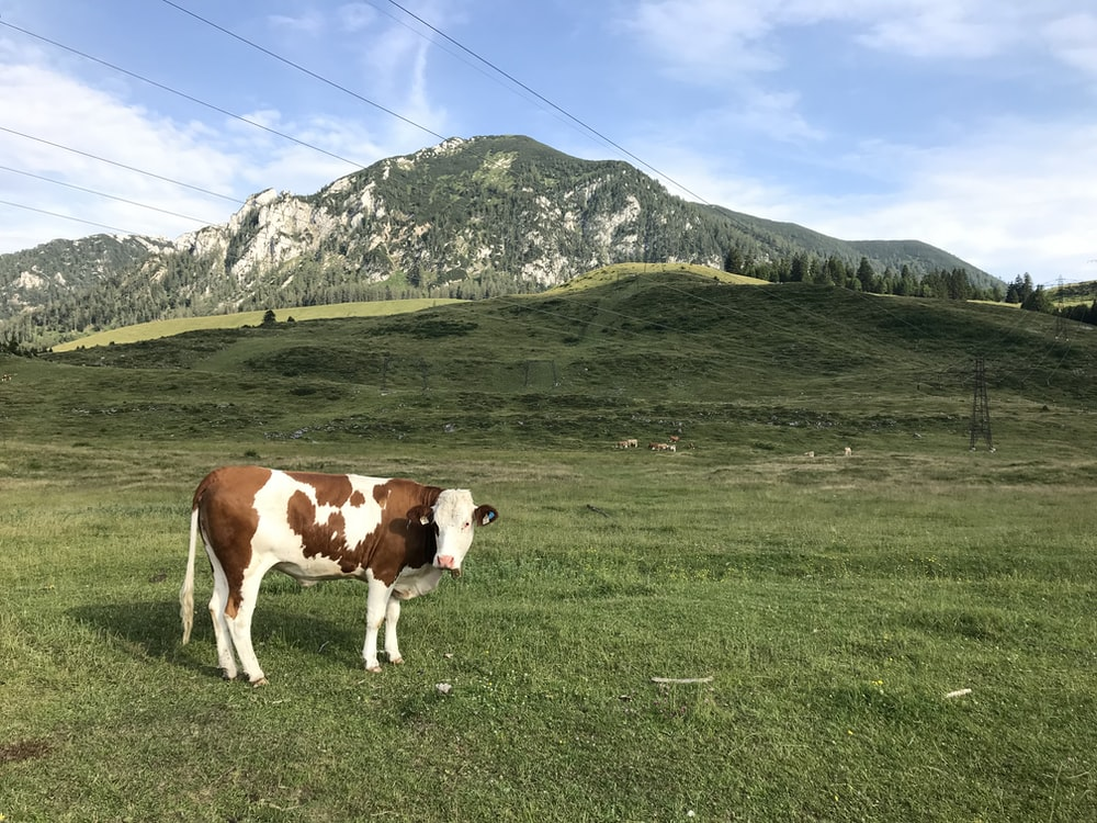brown and white cattle on green grass field