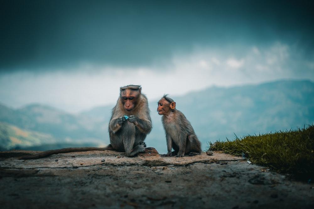 photo of tow gray monkeys