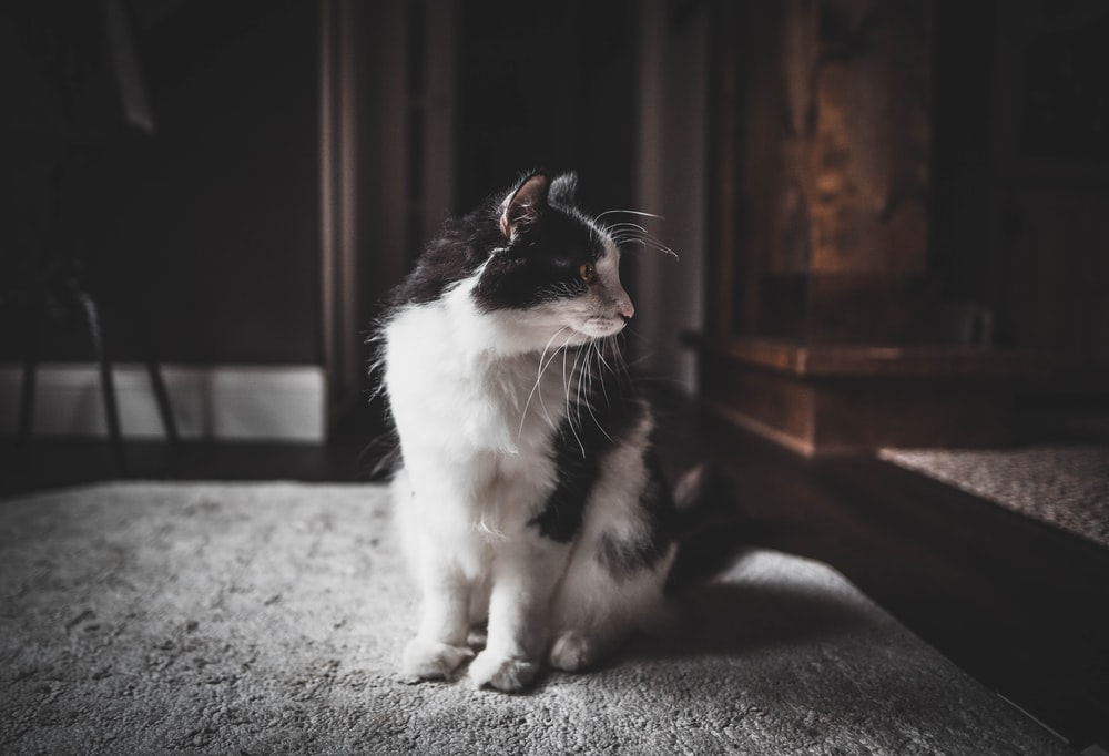 shallow focus photo of white and black cat
