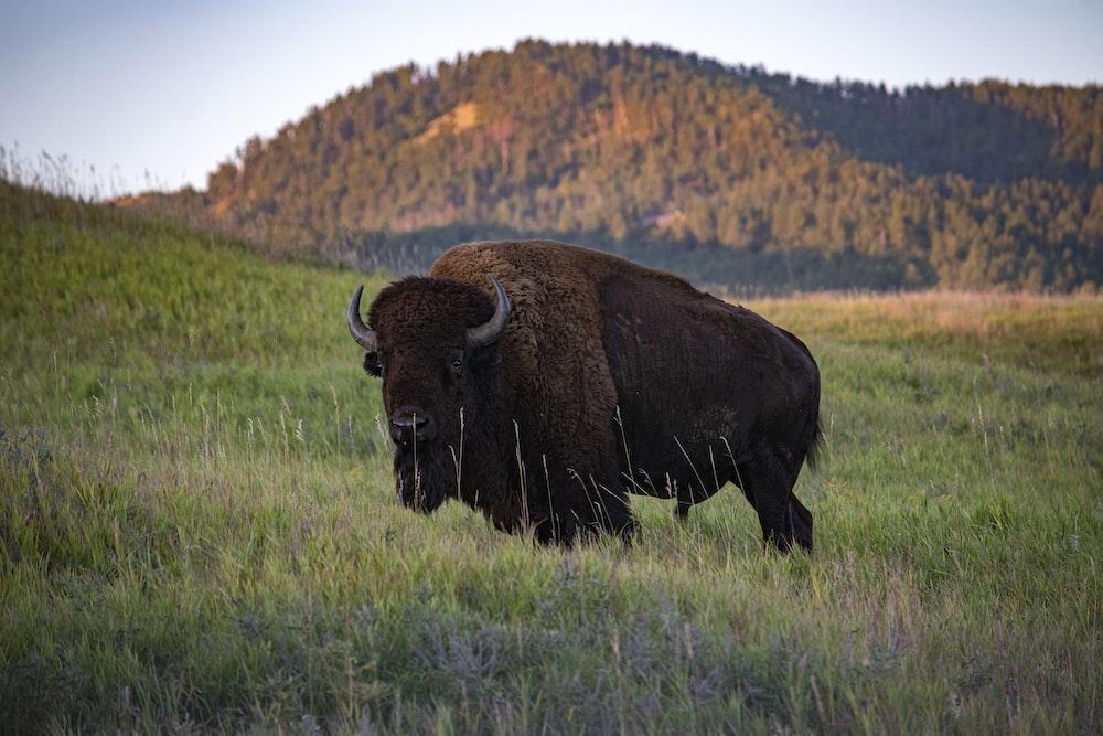 brown bison