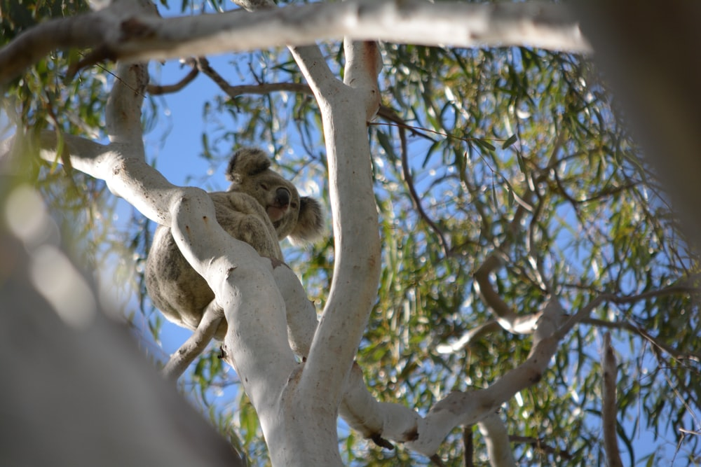 brown koala on tree branch