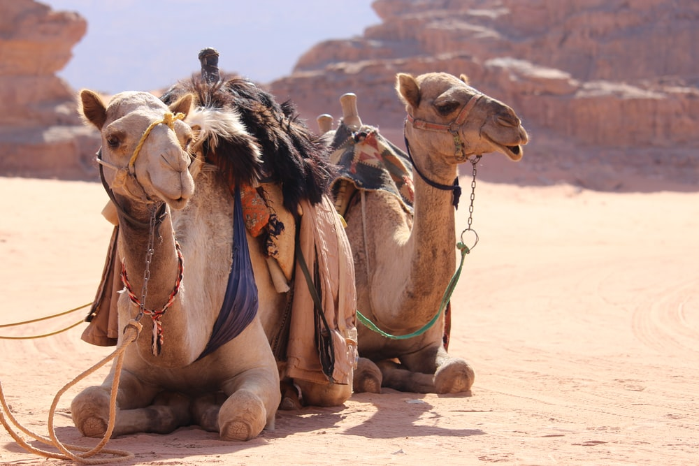 two sitting brown camels during daytime