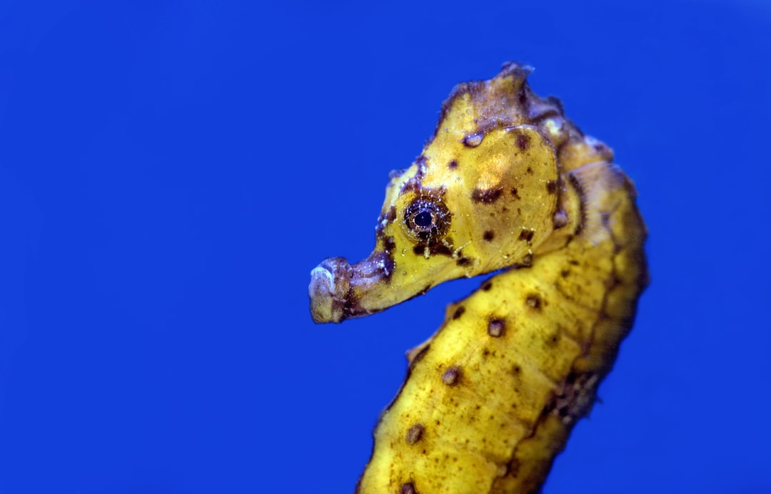 A lovely yellow seahorse at the Cairns Aquarium, Australia.
