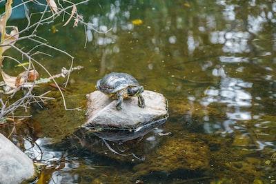 turtle on stone sea life teams background