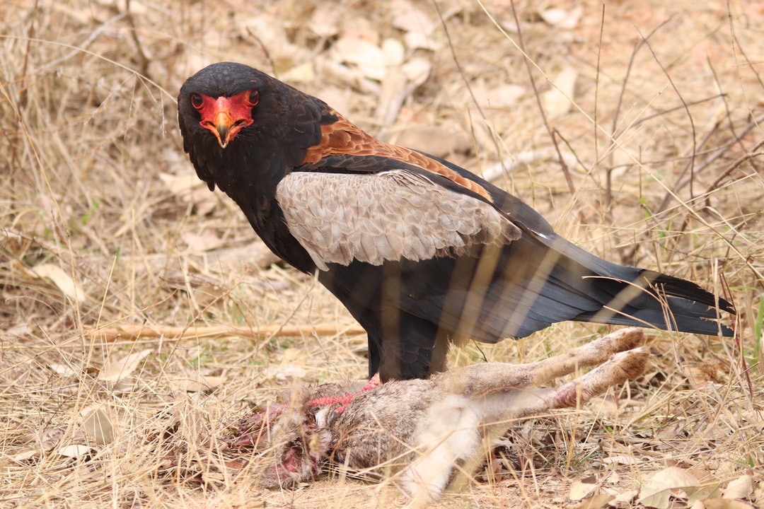 Bateleur Eagle with it's kill.
