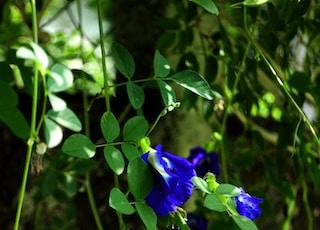 blue ternate flowers