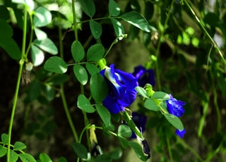 blue ternate flowers