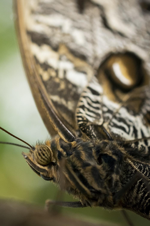 black and brown moth