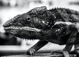 grayscale photo of chameleon