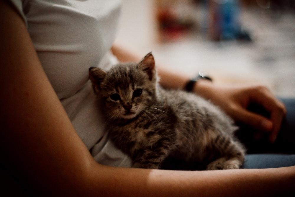 gray tabby kitten lying on person's lap