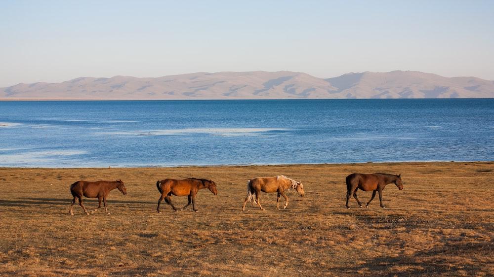 four brown horses walkingbeside body of water