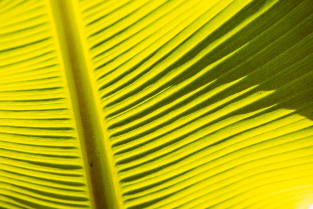 yellow banana leaf