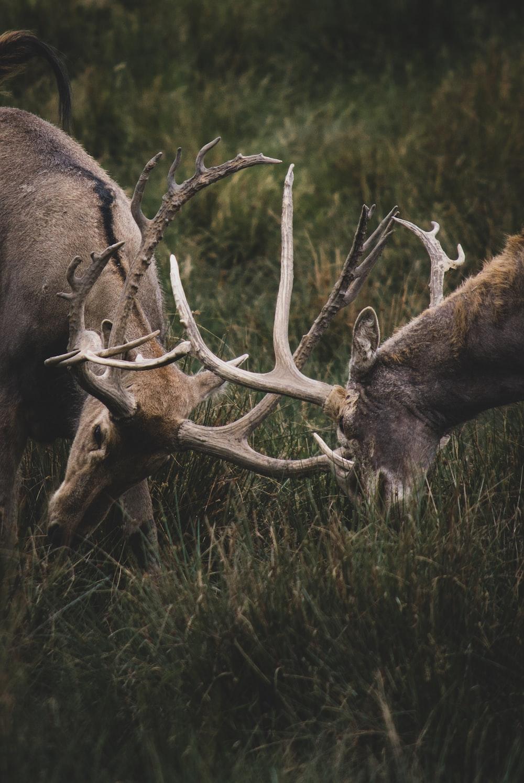 two bucks fight using horns