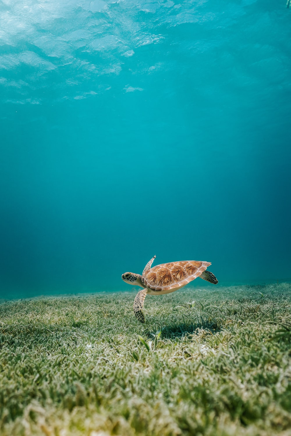 brown turtle in body of water