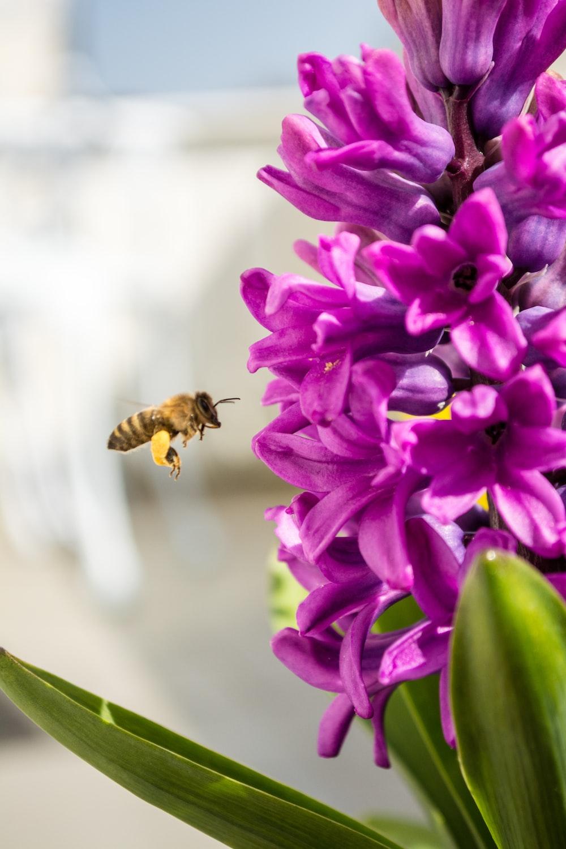 honey bee hovering purple flowers
