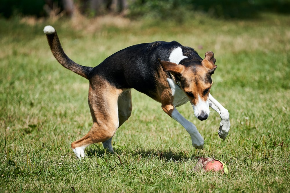 selective focus photography of adult beagle playing on grass field during daytime