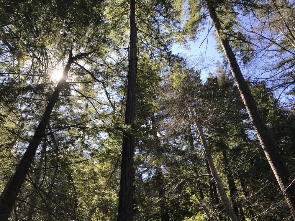 light through tall trees