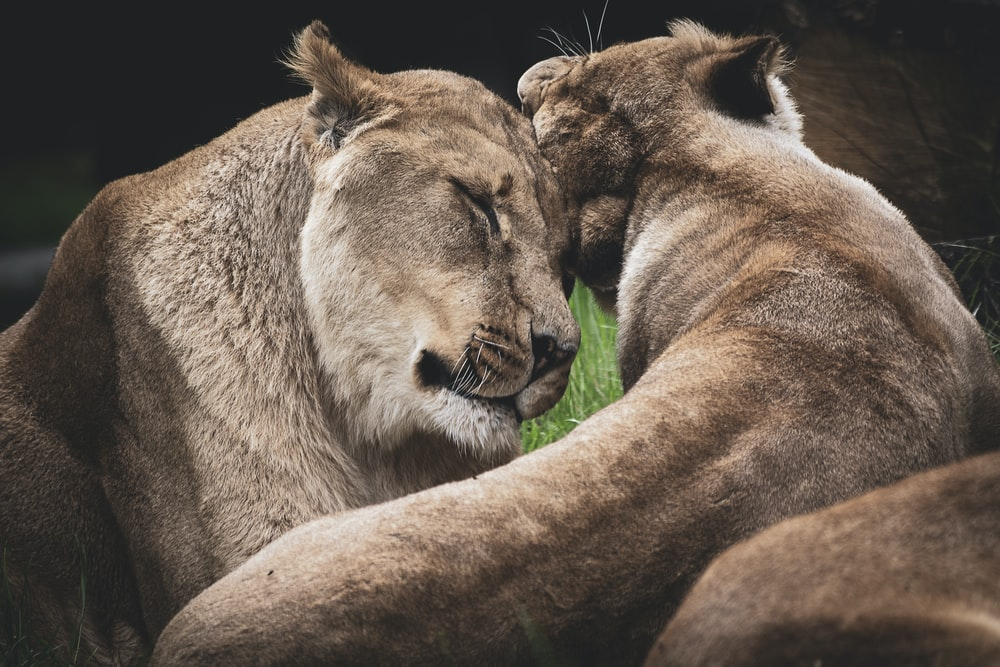 two lioness hugging