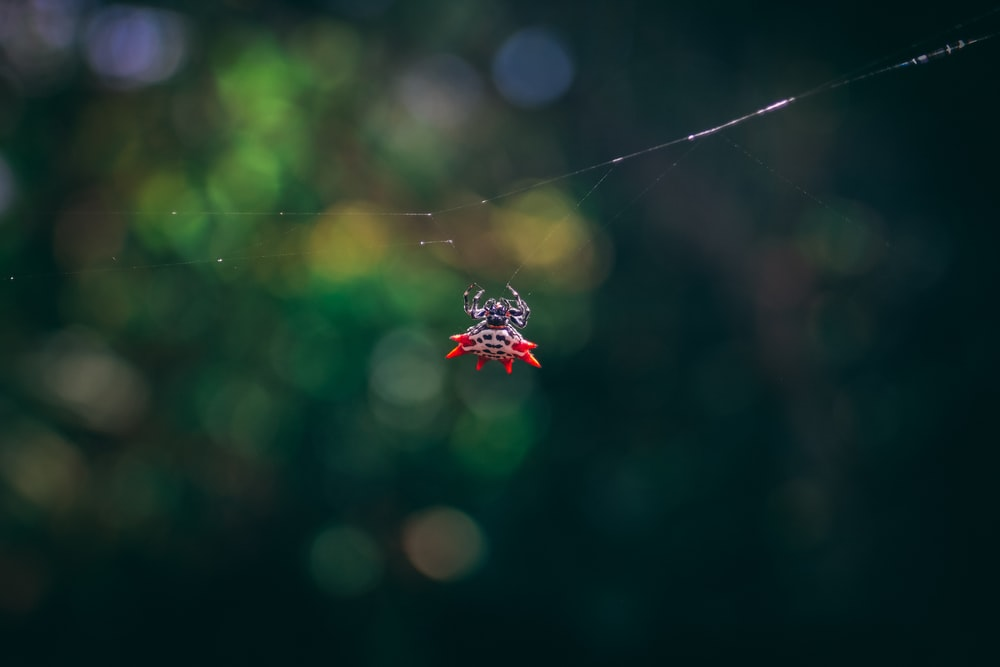 focus photography of red and black spider