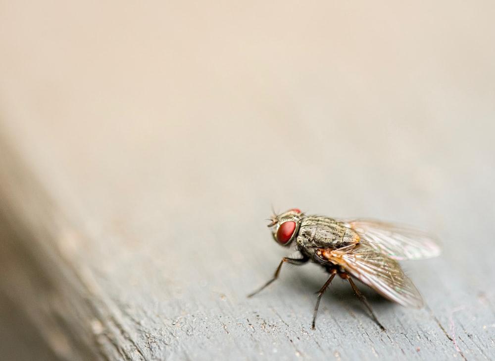 brown housefly