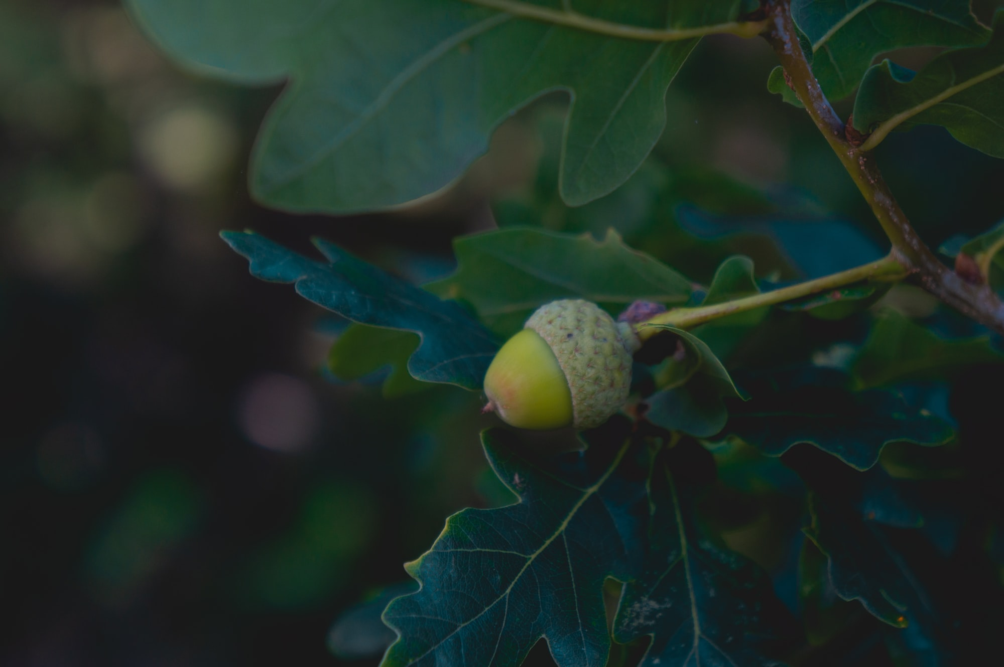 Acorn on an oak tree