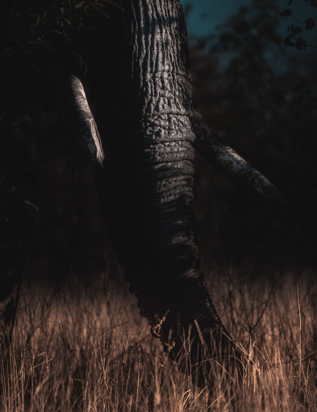 Elephant grazing at sunset