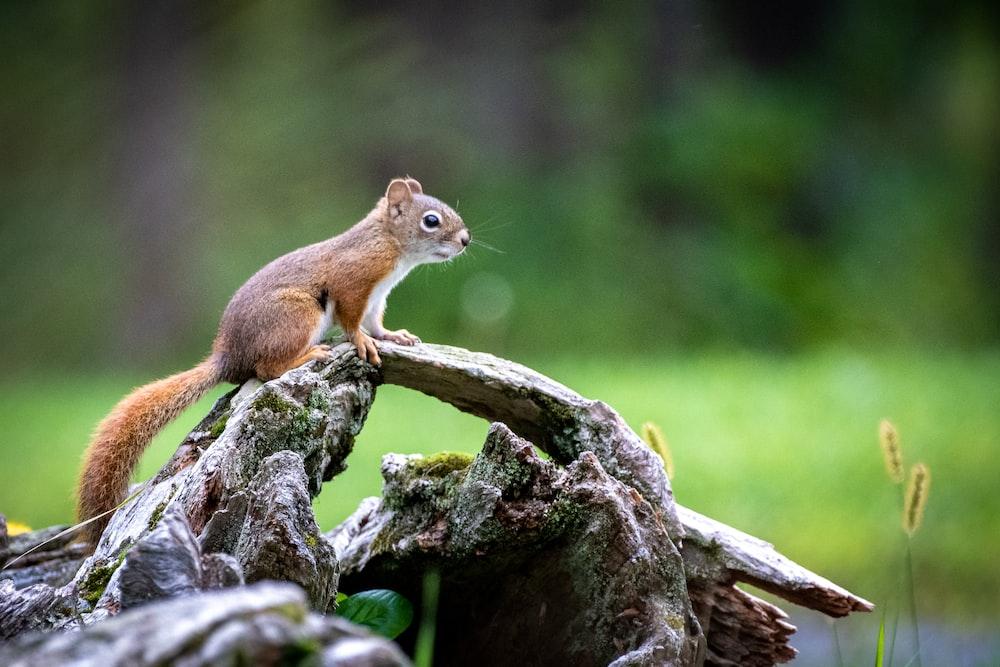 squirrel on stone