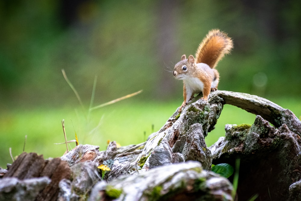 brown squirrel on grey surface