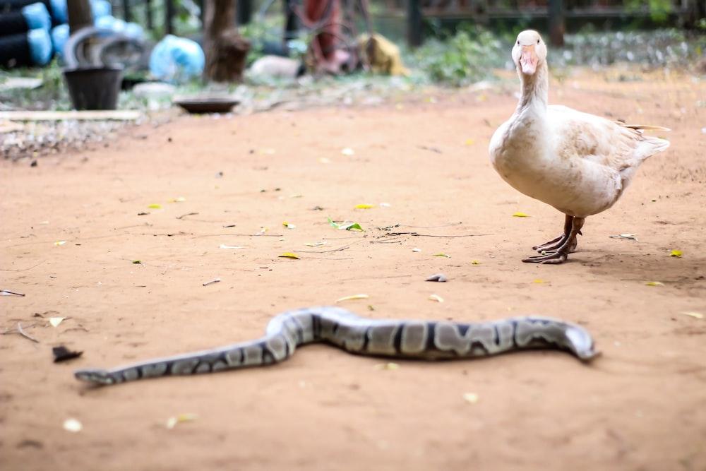 gray snake beside white duck