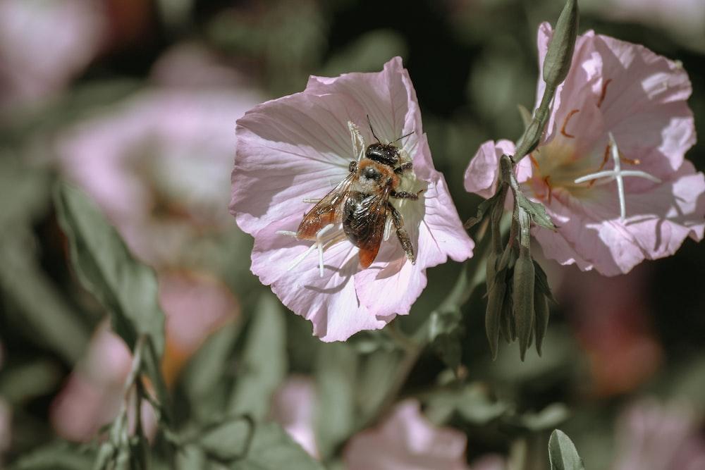 bee in pink-petaled flowers