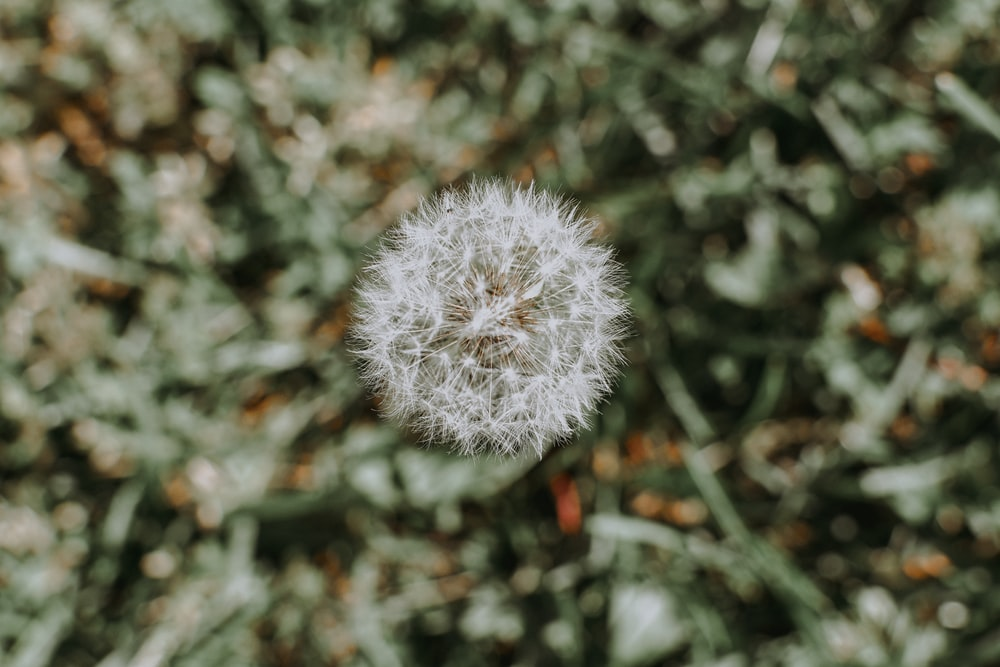 white Dandelion on selective focus photography