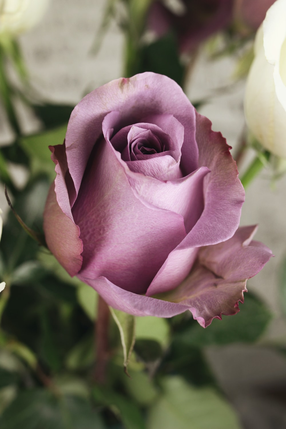 selective focus photography of pink rose flower