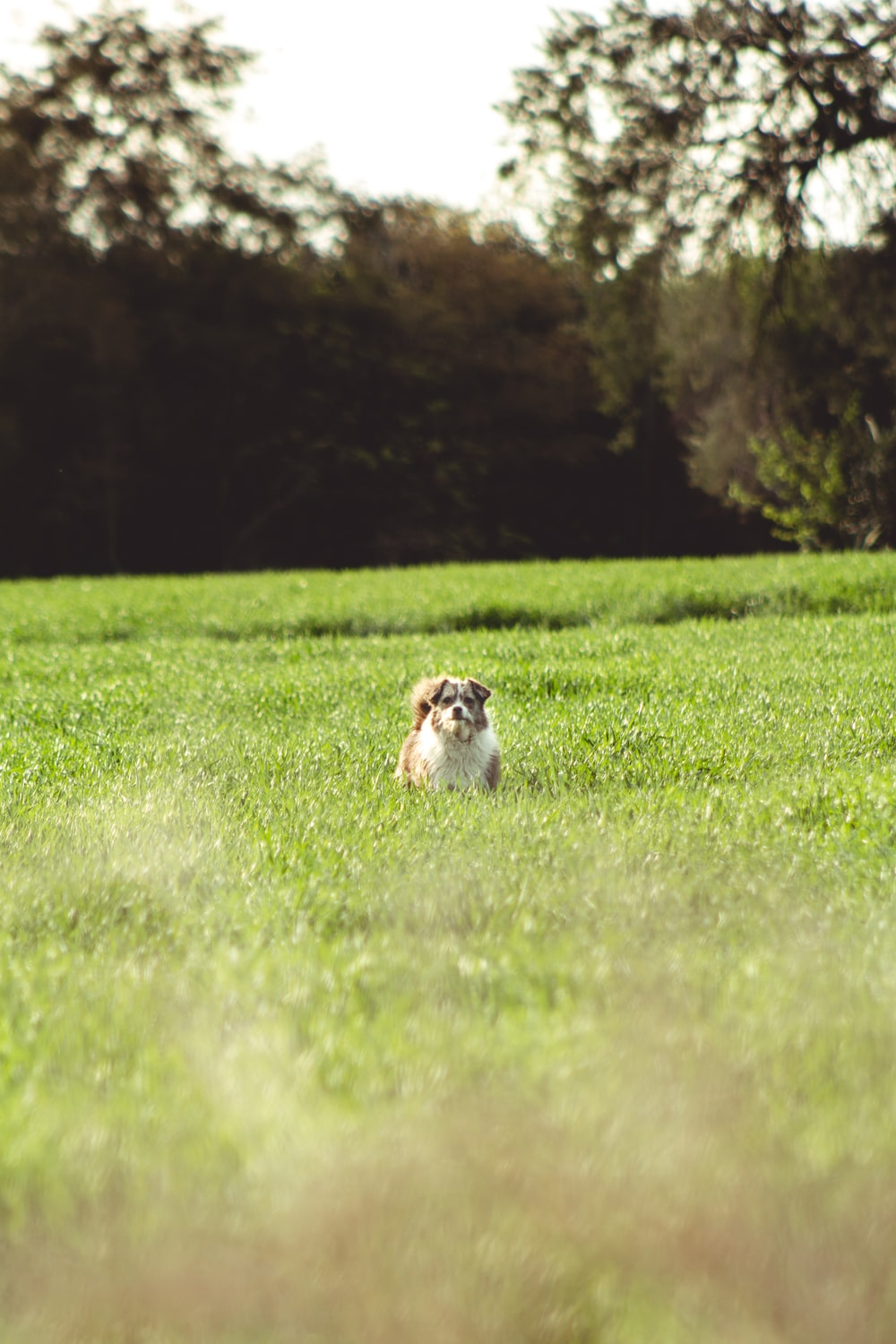 white and grey dog on green grass field during daytime