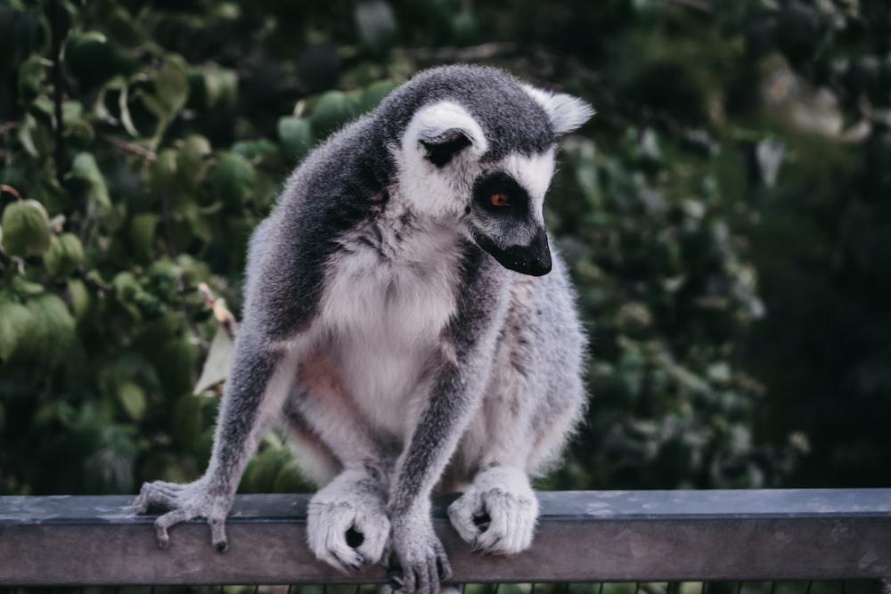 ring-tailed lemur sitting on fence