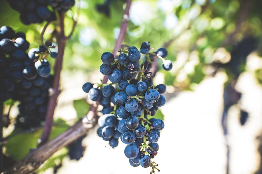 blue berry fruit
