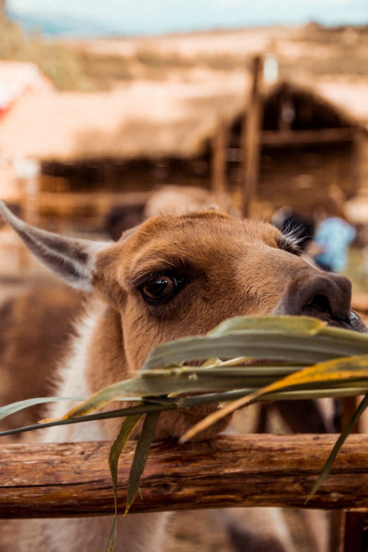 brown llama eating grass near fence