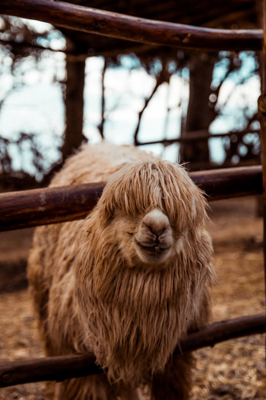 brown llama near fence