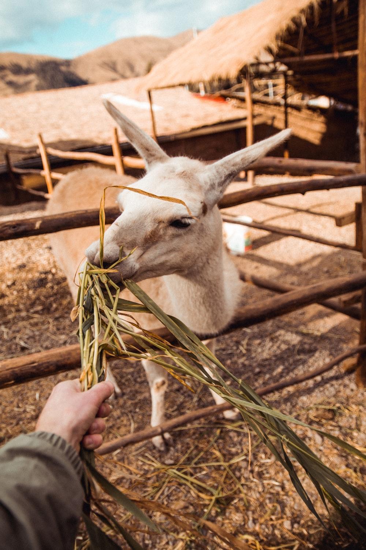 person feeding white goat